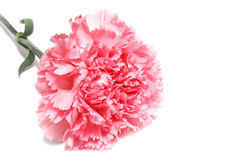Carnation on white. Pink is carnation against the white background Stock Photo