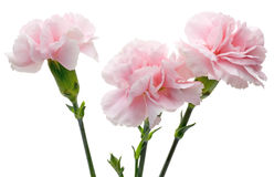 Carnation in a white background Royalty Free Stock Photography