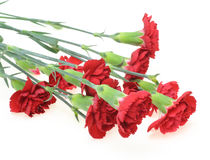 Carnation in a white background Stock Image