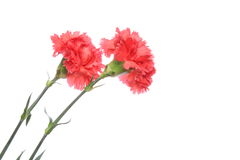 Carnation in a white background Stock Photography