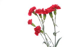 Carnation in a white background Stock Images