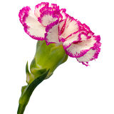 Carnation on white background Royalty Free Stock Photography
