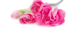 Carnation on white