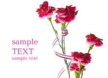 Carnations Royalty Free Stock Photo