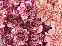 Carnations. Background Royalty Free Stock Photography