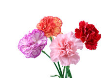 Carnations. Four carnation flowers isolated on white Royalty Free Stock Image