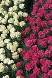 Carnations. Pink and Yellow carnations Stock Image