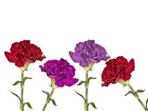 Carnations. Four different coloured fresh cut carnation flowers and stems stock photos