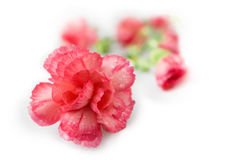 Carnations Royalty Free Stock Photography