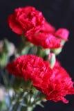 Carnations Stock Photo