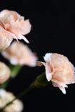 Carnations Royalty Free Stock Photos