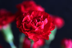 Carnations Royalty Free Stock Images