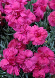 Carnations bloomed in the garden Royalty Free Stock Photo