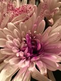 Carnations. Blooming, flowers, pink Stock Images