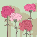 Carnations Stock Image