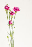 Carnations in clear vase. One stem of blooming flower plant in the clear vase on white background Stock Photography