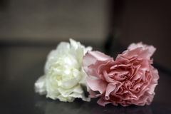 Carnations Stock Images