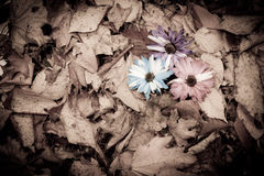 Carnations in fall leaves Stock Image