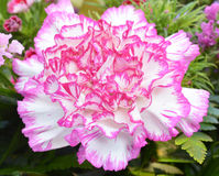 Carnations Stock Photography
