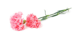 Carnations flowers Stock Photos