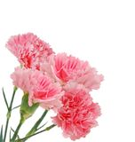 Carnations flowers Stock Photography