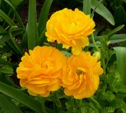 Carnations flowers blooming Stock Photography