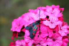 Carnations flowers in sunshine. The six-spot burnet Zygaena filipendulae - a day-flying moth. Royalty Free Stock Image