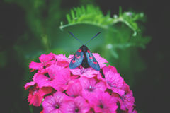Carnations flowers in sunshine. The six-spot burnet Zygaena filipendulae - a day-flying moth. Stock Photography