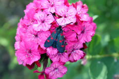 Carnations flowers in sunshine. The six-spot burnet Zygaena filipendulae - a day-flying moth. Royalty Free Stock Photography