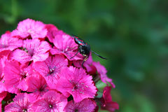 Carnations flowers in sunshine. The six-spot burnet Zygaena filipendulae - a day-flying moth. Royalty Free Stock Images