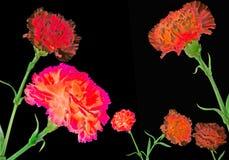 Carnations frame Stock Photos