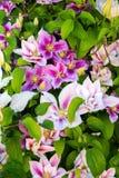 Carnations garden. Stock Image