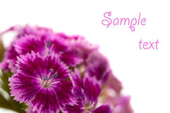 Carnations isolated Stock Image