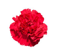 Carnations isolated Royalty Free Stock Image