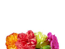 Carnations Isolated Over White Background Stock Image