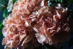 Carnations and pistachio sprigs stock image