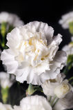 Carnations set on a black back ground Royalty Free Stock Images