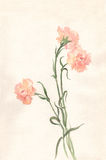 Carnations watercolor painting. The hand painted watercolor of pink carnations Royalty Free Stock Image