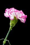 Carnatoin flower on black background. The bright beautiful Carnation on black background Stock Photos