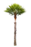 Carnauba Wax Palm tree. Isolated on white stock images