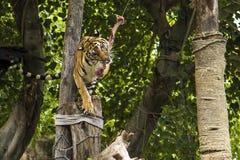 Carne de la demostración del tigre Foto de archivo libre de regalías