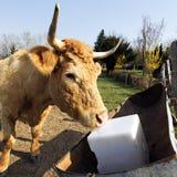 Carne de la vaca Foto de archivo libre de regalías
