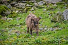 Carne de vaca escocesa de la montaña del toro adolescente del becerro Fotografía de archivo libre de regalías