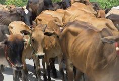carne dell'azienda agricola della mucca che coltiva l'animale del bestiame del gregge Immagine Stock