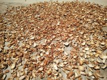 A carne do coco fez seco sob o calor do sol Fotos de Stock