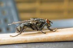 Carne-mosca, Sarcophigae Imagens de Stock