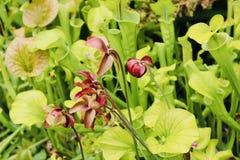 Carne que come a mosca que come flores das plantas de jardim botânico imagens de stock