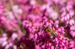 Carnea de Erica da floresta de Heath de mola das flores imagens de stock