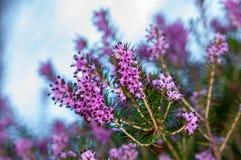 Carnea de Erica da floresta de Heath de mola das flores foto de stock royalty free