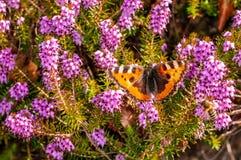 Carnea de Erica da floresta de Heath de mola das flores imagens de stock royalty free